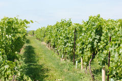 Green grape vines Stock Photography