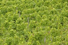 Green grape-vines Royalty Free Stock Image