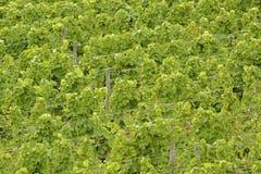 Green grape-vines. In summer in the Rheingau area, Hesse, Germany Royalty Free Stock Image
