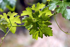 Green Grape Vines and Leaves Stock Images