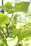Green grape at vineyard Royalty Free Stock Image
