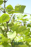 Green grape at vineyard Stock Image