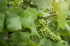Green grape on vineyard Stock Photos