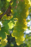 Green grape at vineyard in autumn Royalty Free Stock Images