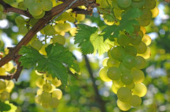 Green grape at vineyard in autumn Stock Photography