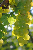 Green grape at vineyard in autumn Stock Photo