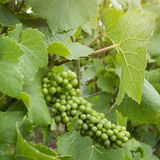 Green grape on vineyard Stock Photo