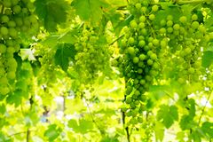 Green grape in vineyard Royalty Free Stock Photos