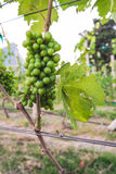 Green Grape in Vineyard Stock Photo
