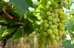 Green Grape in vineyard with sunlight effect Royalty Free Stock Photos