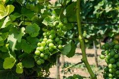 Green grape vineyard Royalty Free Stock Photo