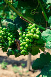 Green grape vineyard Royalty Free Stock Photo