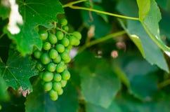 Green grape Vitis vinifera. In detail Stock Images