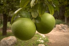 Green Grapefruit. Unripe green grapefruit hanging from the tree Royalty Free Stock Image