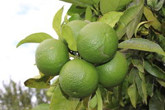 Green grapefruit bunch Royalty Free Stock Photo