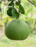 Green grapefruit royalty free stock image