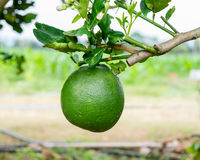 Green grapefruit hang down on twig Royalty Free Stock Photography