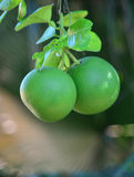 Green Grapefruit Stock Photography