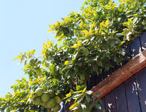 Green grapefruits and fence Royalty Free Stock Photography