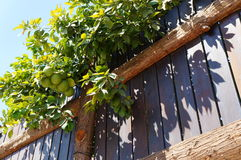 Green grapefruits and fence Royalty Free Stock Images
