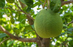Green grapefruits on the tree Royalty Free Stock Image