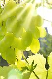 Green grapes. Royalty Free Stock Photography