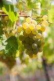 Green grapes. Bunch of green grape vine in vineyard Stock Photos