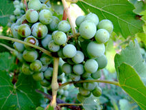 Green grapes. On the vine Royalty Free Stock Image