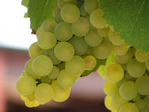 Green_grapes. A Perfect Bunch of Green Grapes on the Vine stock image