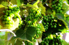 Green grapes Stock Image