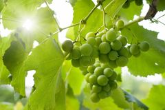 Green grapes. Beauty natural background - green grapes, bright sun Stock Image