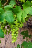 Green Grapes. A bunch of green grapes on branch close up on brown background Royalty Free Stock Image