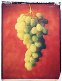 Green grapes. On red backgrounds - illustration Royalty Free Stock Photo