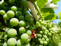 Green grapes. Bunch of grapes on a bright hot day, on a blue sky Stock Photography
