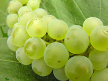 Green grapes. Green juicy grapes ready to harvest Stock Photo