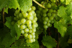 Free Green Grapes Stock Photos - 26694053