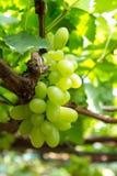 Green grapes. Close up shot of green grape in vineyard Stock Photo