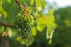 Green grapes. At the vineyard Stock Photo