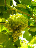 Green grapes. Lightened by backlight sunshine stock photography