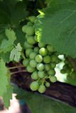 Green Grapes. A bunch of green wine grapes dangle from the vines stock photo