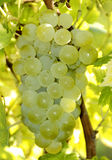 Green grapes Royalty Free Stock Images