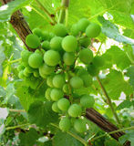 Green grapes. Immature grapes detail royalty free stock photography