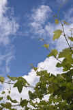 Green grapes and blue sky. Some new and green leaves of a grapes field with the blue sky over them royalty free stock photo