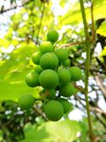 Green grapes on the branch Royalty Free Stock Photos