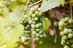 Green grapes on a branch royalty free stock image