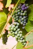 Green grapes on a branch stock photos