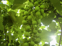 Green grapes. On a branch in the garden royalty free stock images