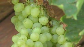 Green grapes in Bulgarian Rupite Stock Image