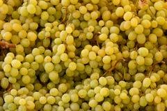 Green grapes. Bunch of green grapes closeup shallow depth of field Stock Photos