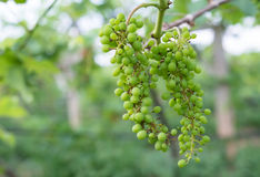 Green grapes. Bunch of young green grapes royalty free stock photography